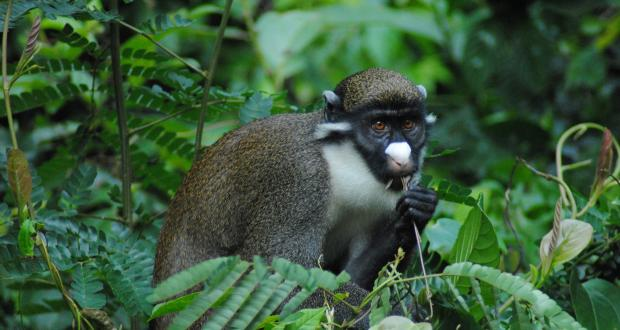 Photo of a lesser spot-nosed guenon, by PhD student Erin Kane
