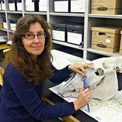 Dr. Angel measuring a horse skull