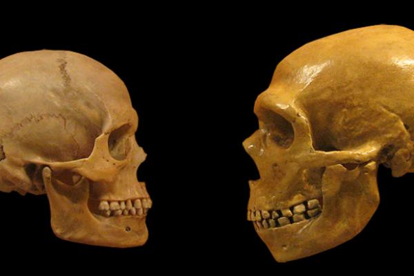 Two skulls, one human (left) and one Neanderthal (right) facing each other